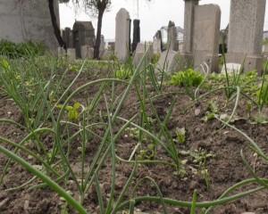 ceapa cimitir 2