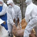Încă un caz de pestă porcină africană. Peste 8.000 de porci, sacrificați