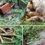 Stupi distruși de urs. A atacat de două ori la Cozieni.